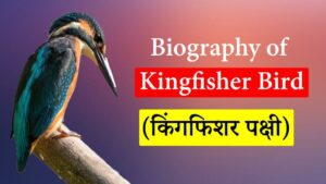 Biography of Kingfisher Bird (किंगफिशर पक्षी)