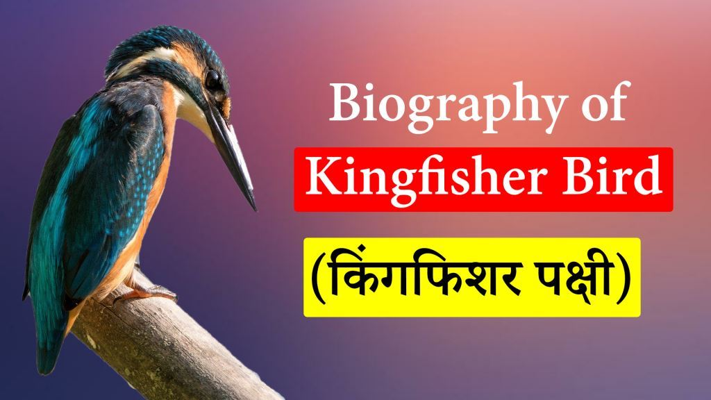 Biography of Kingfisher Bird