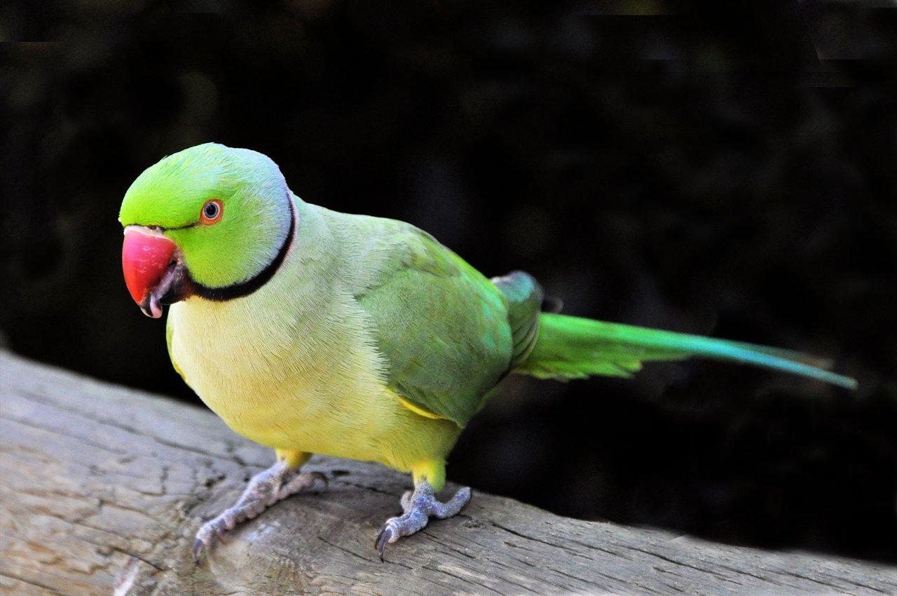 पोपट पक्षी माहिती मराठी