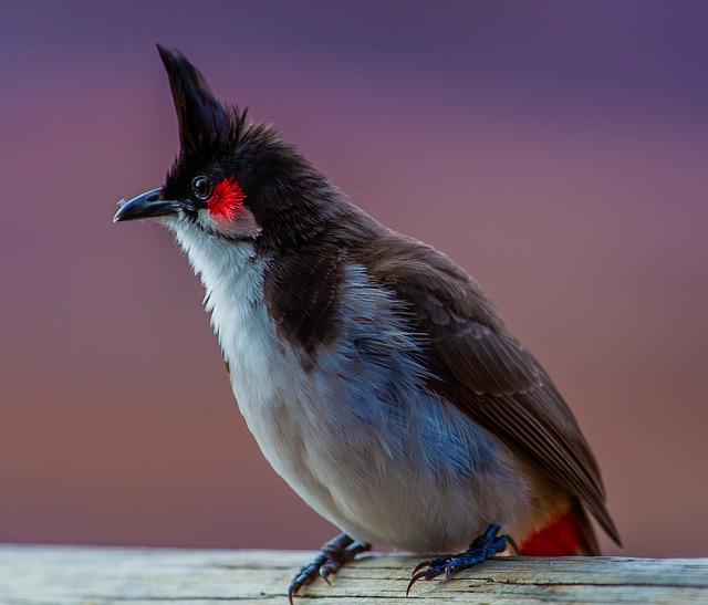 Bulbul Bird Marathi Meaning