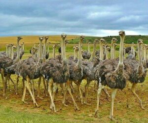Ostrich Information in Marathi