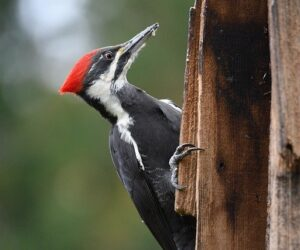 Woodpecker Information In Marathi