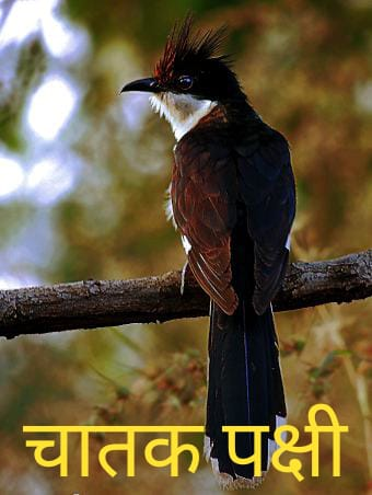 Chatak Bird in Marathi